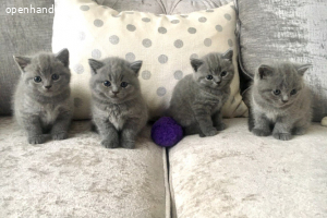 6 Bsh kittens (PKD negatief)