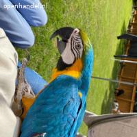Blauw/gouden ara's (grote kooi + baars)