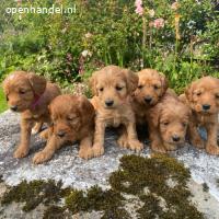 Cockapoo-puppy's