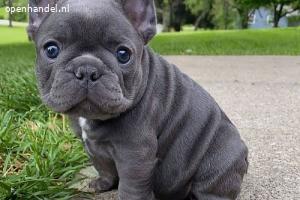 Franse Bulldog-pups (appelkoppen!!!)