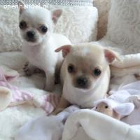 geweldige chihuahuapuppy's beschikbaar