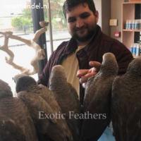 Handgefokte Afrikaanse grijze papegaaien te koop.