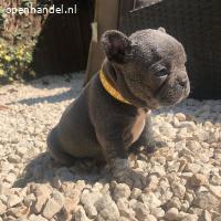KC aanbieding / Franse bulldog pups