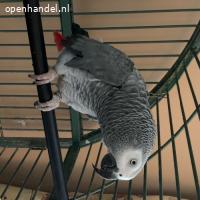 Leren / 5 Afrikaanse grijze papegaaien