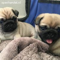 mannelijke en vrouwelijke pug-puppy's