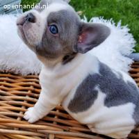Meer dan 3 /Franse Bulldog-pups