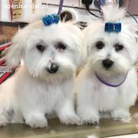 Miles and Shells super schattige Maltese puppy's