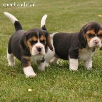 Mooie Beagle-puppy's
