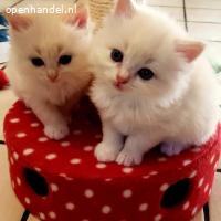 Prachtige Ragdoll-kittens