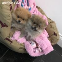 Schattige Pommeren pups beschikbaar