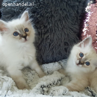 Twee raszuivere Birmaan-kittens
