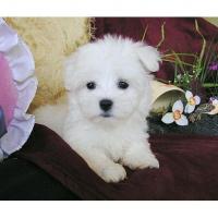 Vrouwelijke Maltese Pup